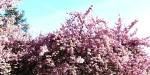 Bushidō, le mystère du cerisier, et les pommes modifiées génétiquement