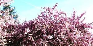 Bushidō et le mystère du cerisier